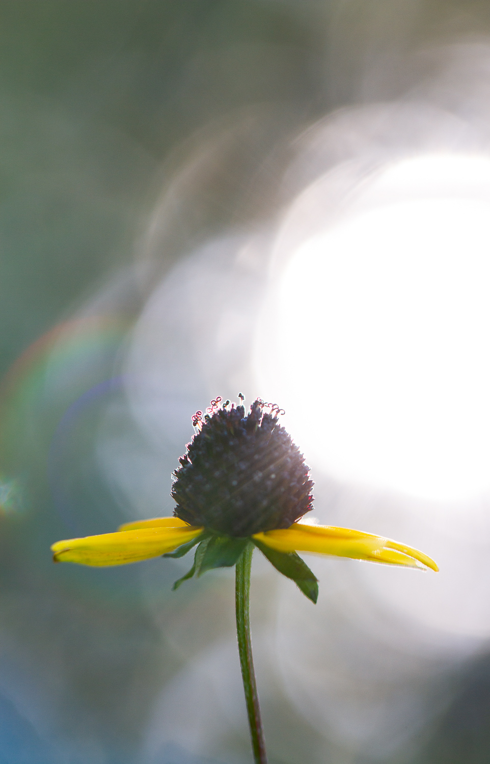 How to Use Backlight to Create Incredible Images - yellow flower and bokeh