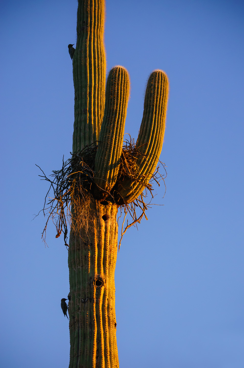 Image: The sidelight on this saguaro cactus emphasizes it's shape and texture.