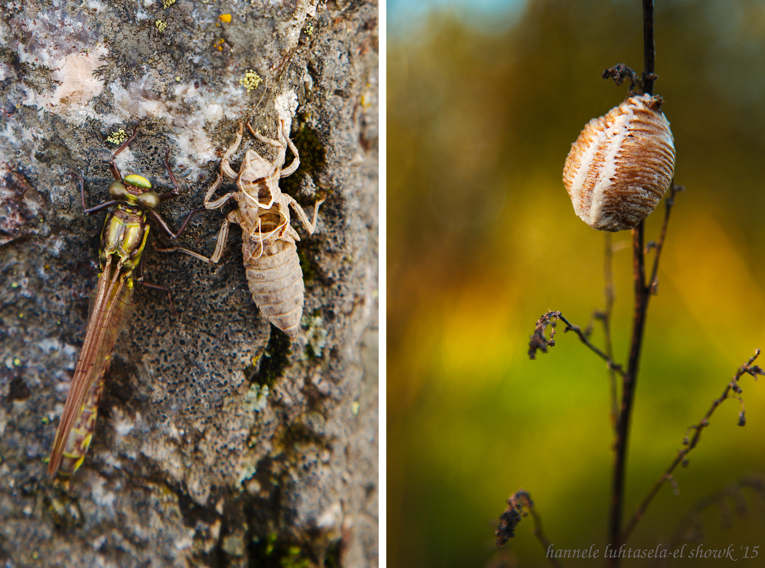 Insect development: dragonfly with old nymph skin and mantis ootheca. - Insect Photography Tips