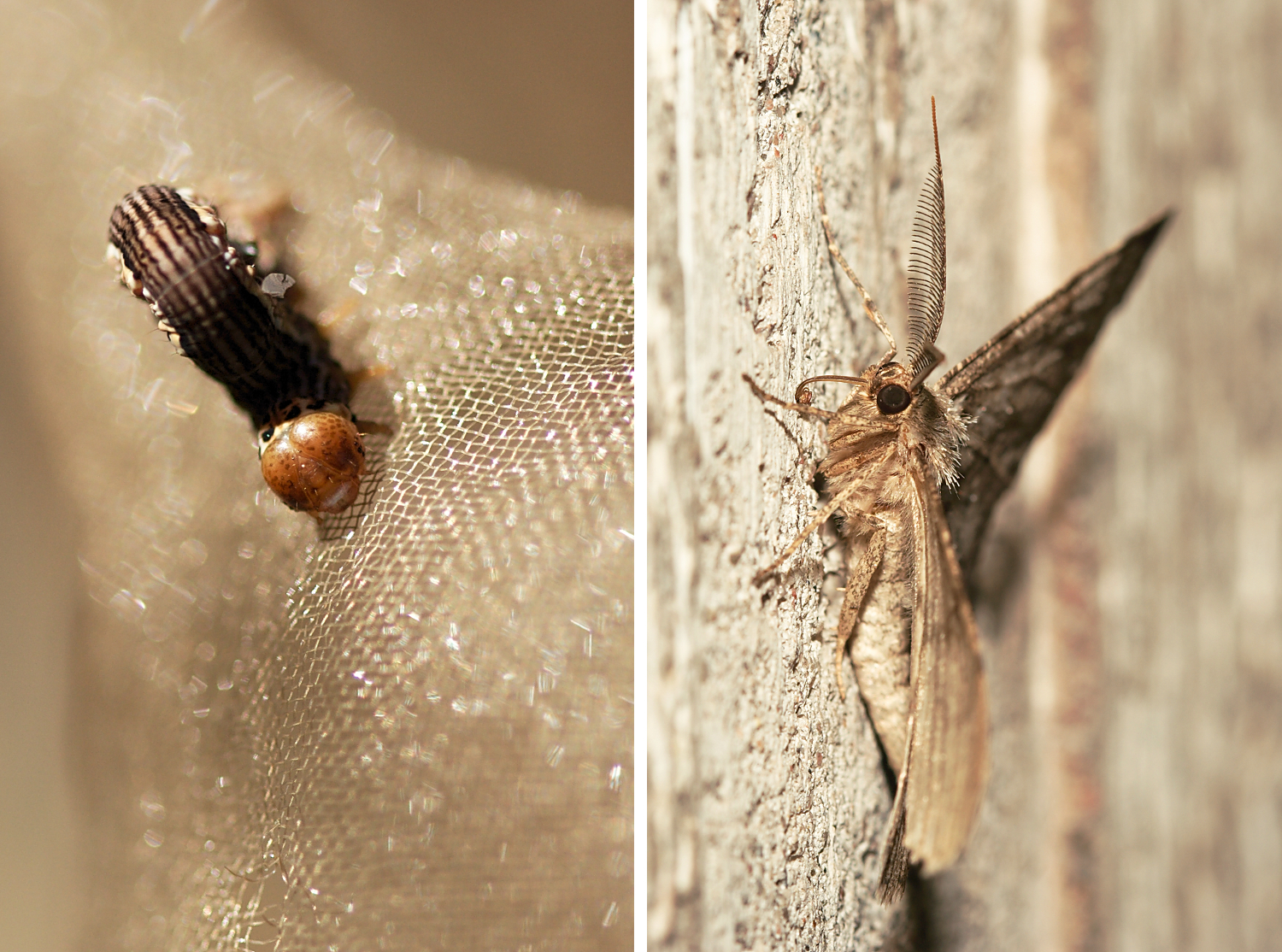 Larva on net and moth. Insect Photography Tips