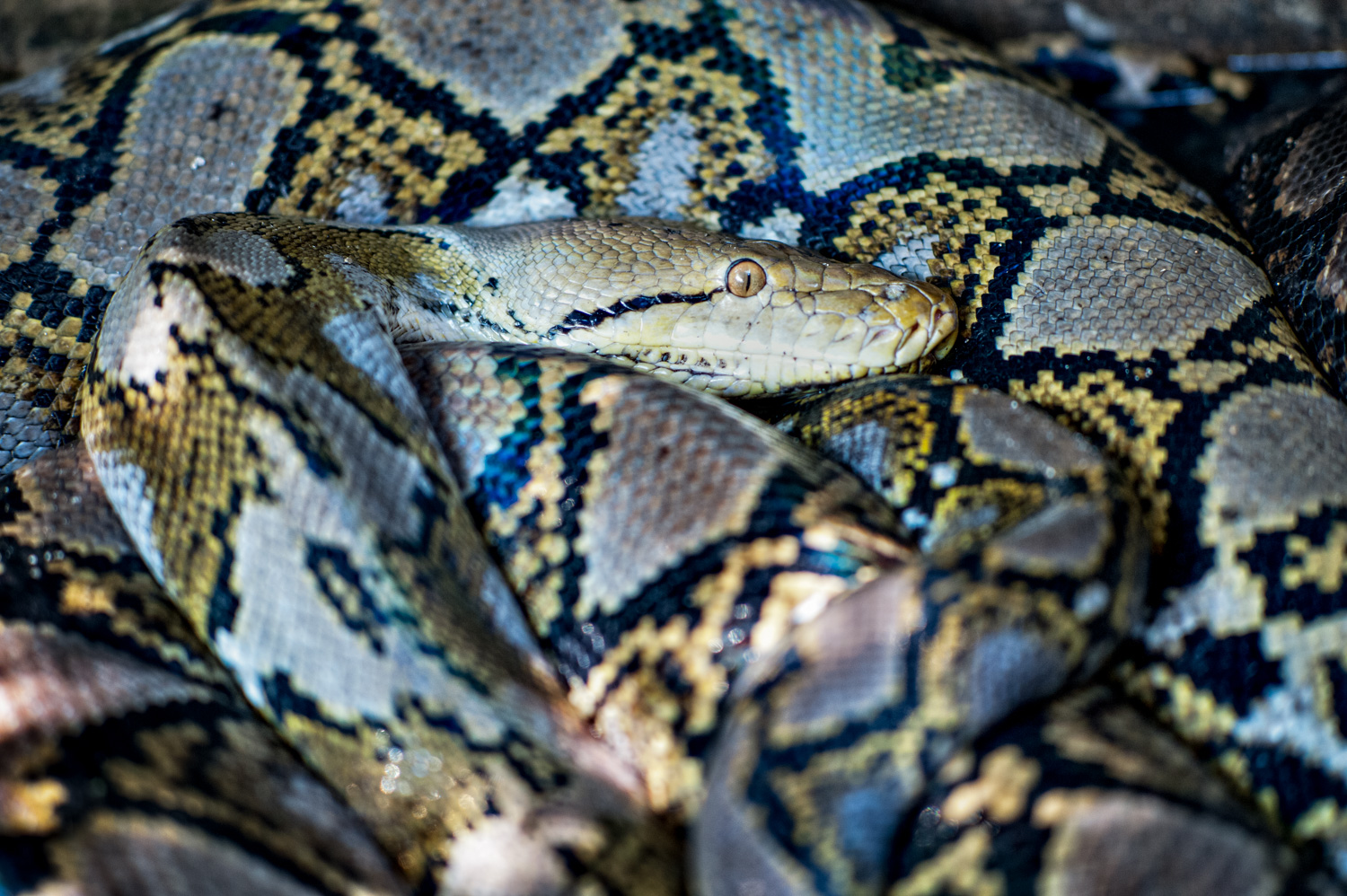 Python in a Pit © Kevin Landwer-Johan - The Magic of Creativity Rarely Happens in Your Comfort Zone