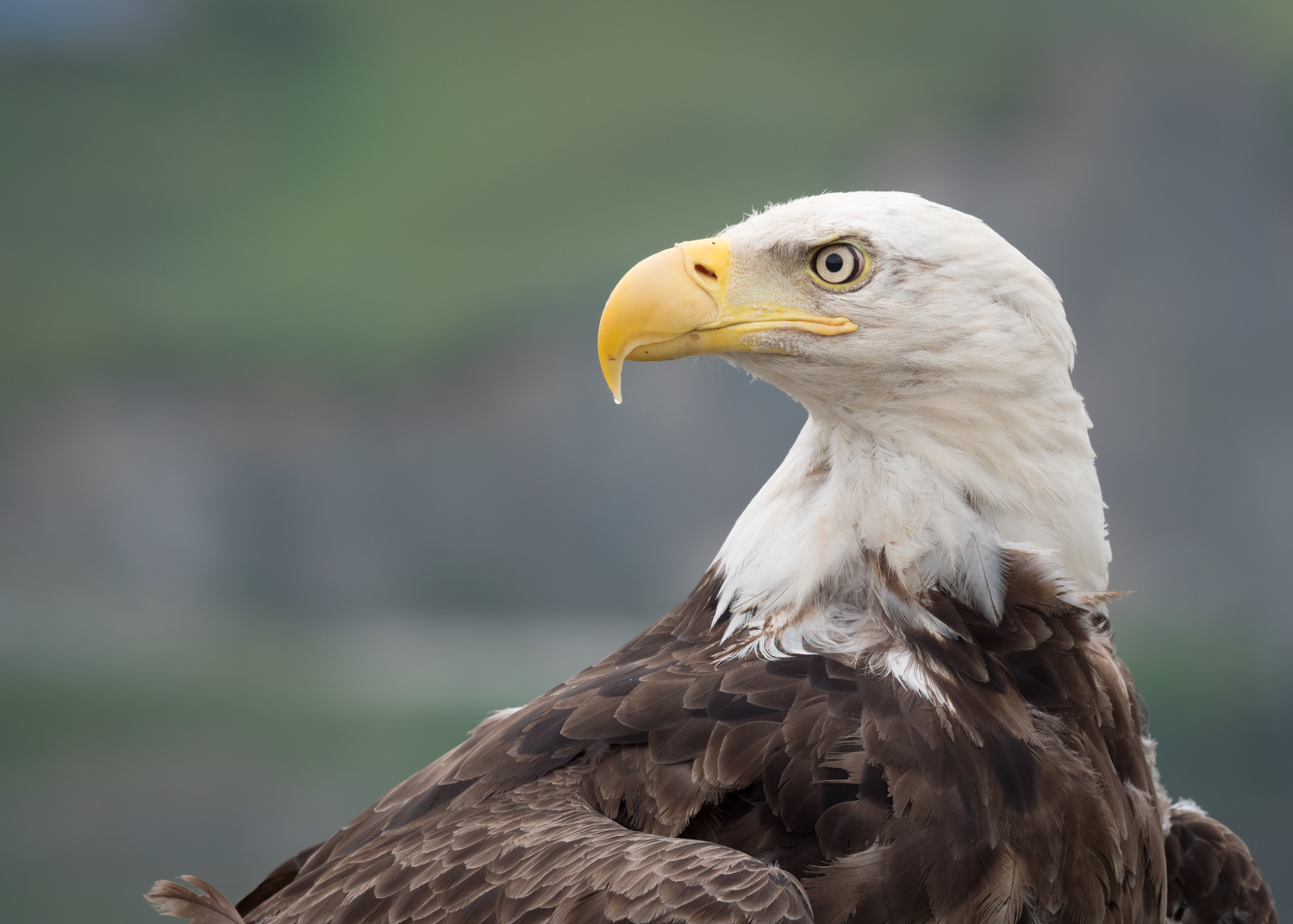 Review of the Olympus 300mm F4 PRO Lens - bald eagle