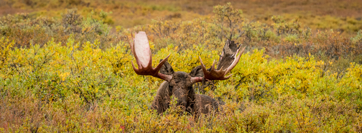 Review of the Olympus 300mm F4 PRO Lens - moose in a field