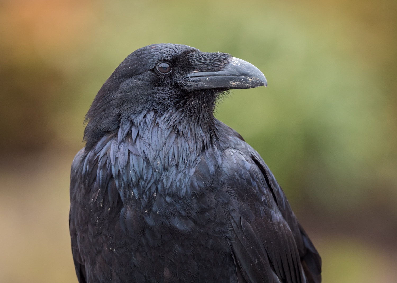Review of the Olympus 300mm F4 PRO Lens - black raven close up