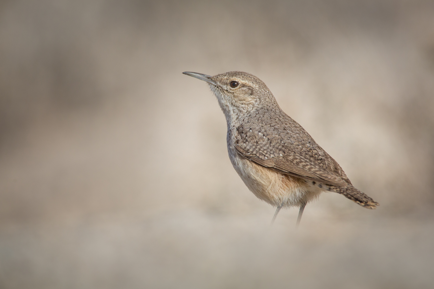 Review of the Olympus 300mm F4 PRO Lens - brown wren