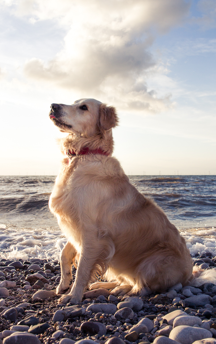 photography without tripod golden retriever sunset