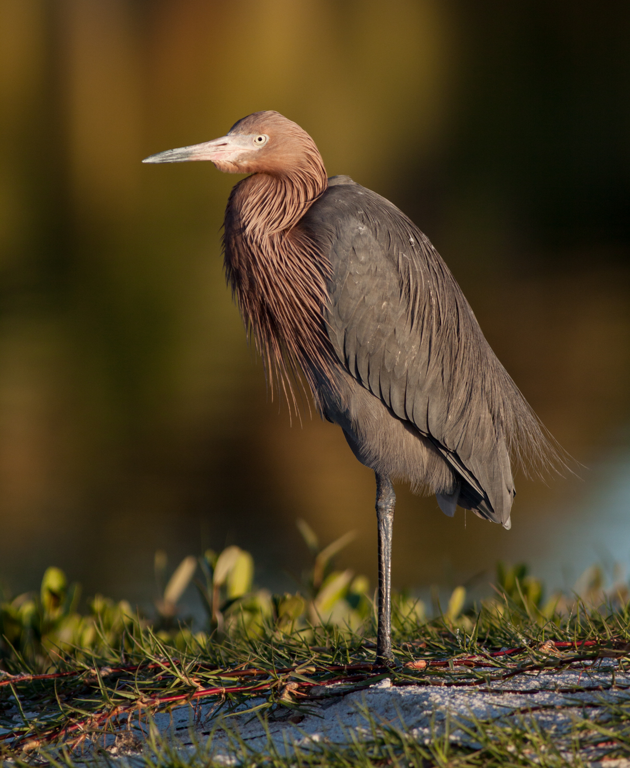 sharp images reddish egret
