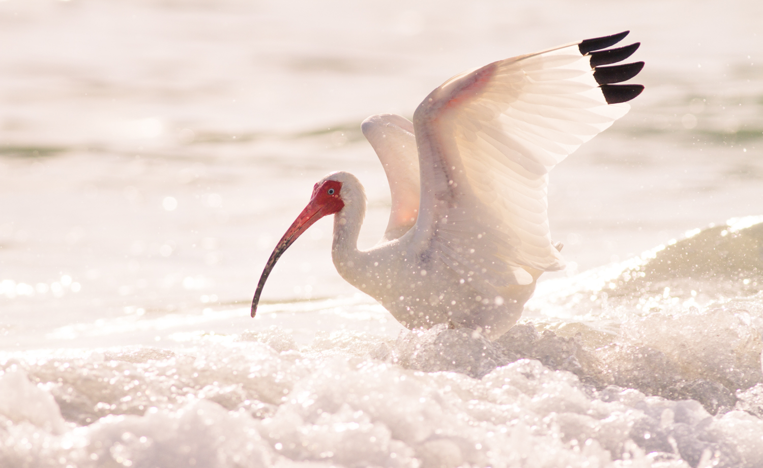 sharp images white ibis