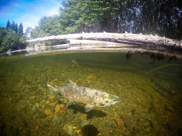 GoPro, Hero5, Underwater, Photography,Salmon, Alaska