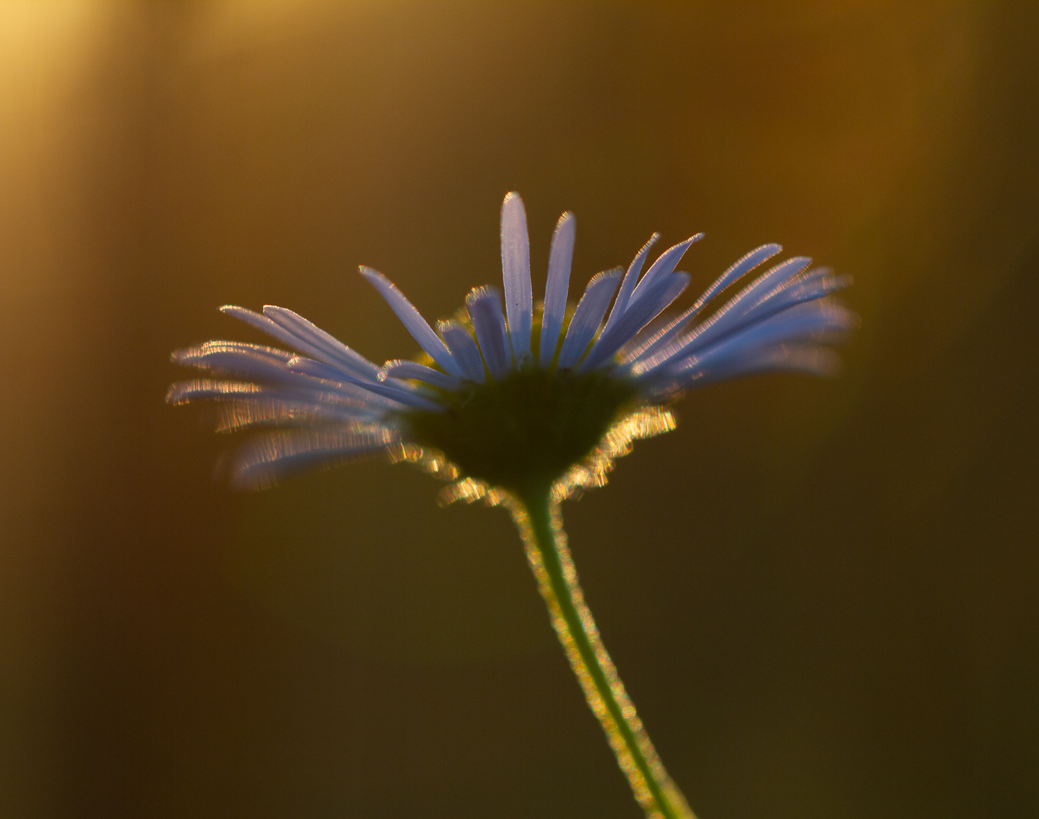 backlit flower - How to Use Backlight to Create Incredible Images