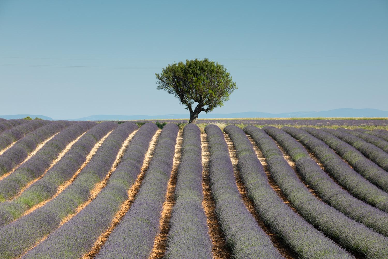 Image: Lavendar, Provence, France