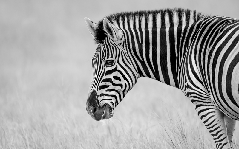 Image: Burchell's Zebra, Kenya. Canon 1DX, Canon 500mm, f/4, ISO 200, 1/50th sec, bean bag. Image ©...