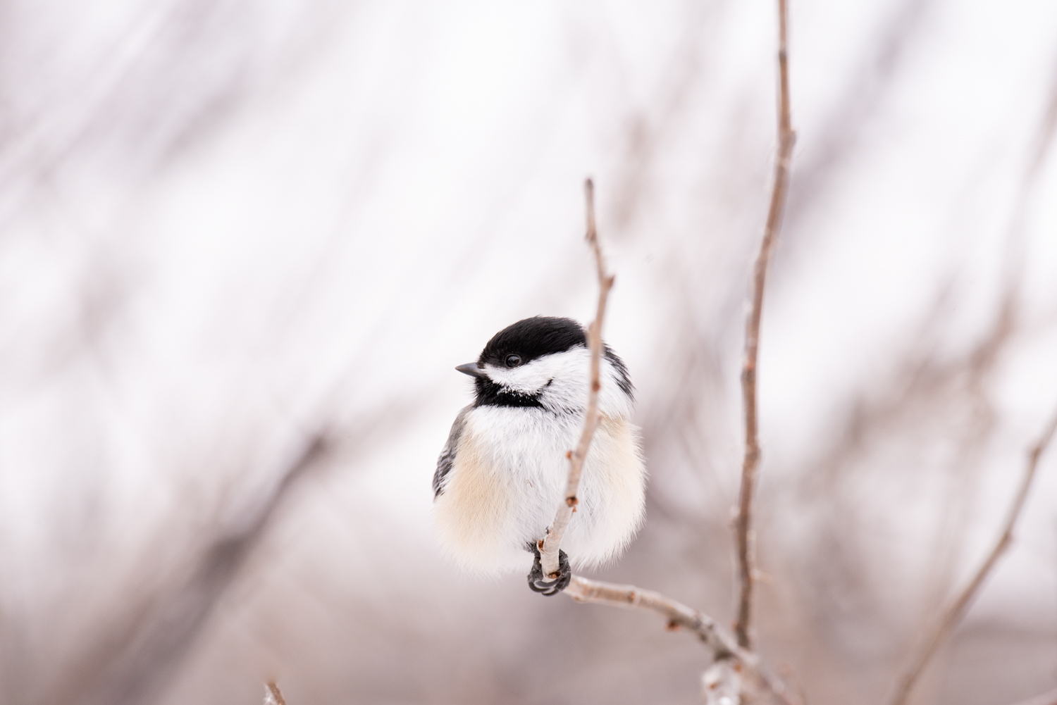 Image: This Black-Capped Chickadee was perched about 7 feet away, and I was impressed that I was abl...
