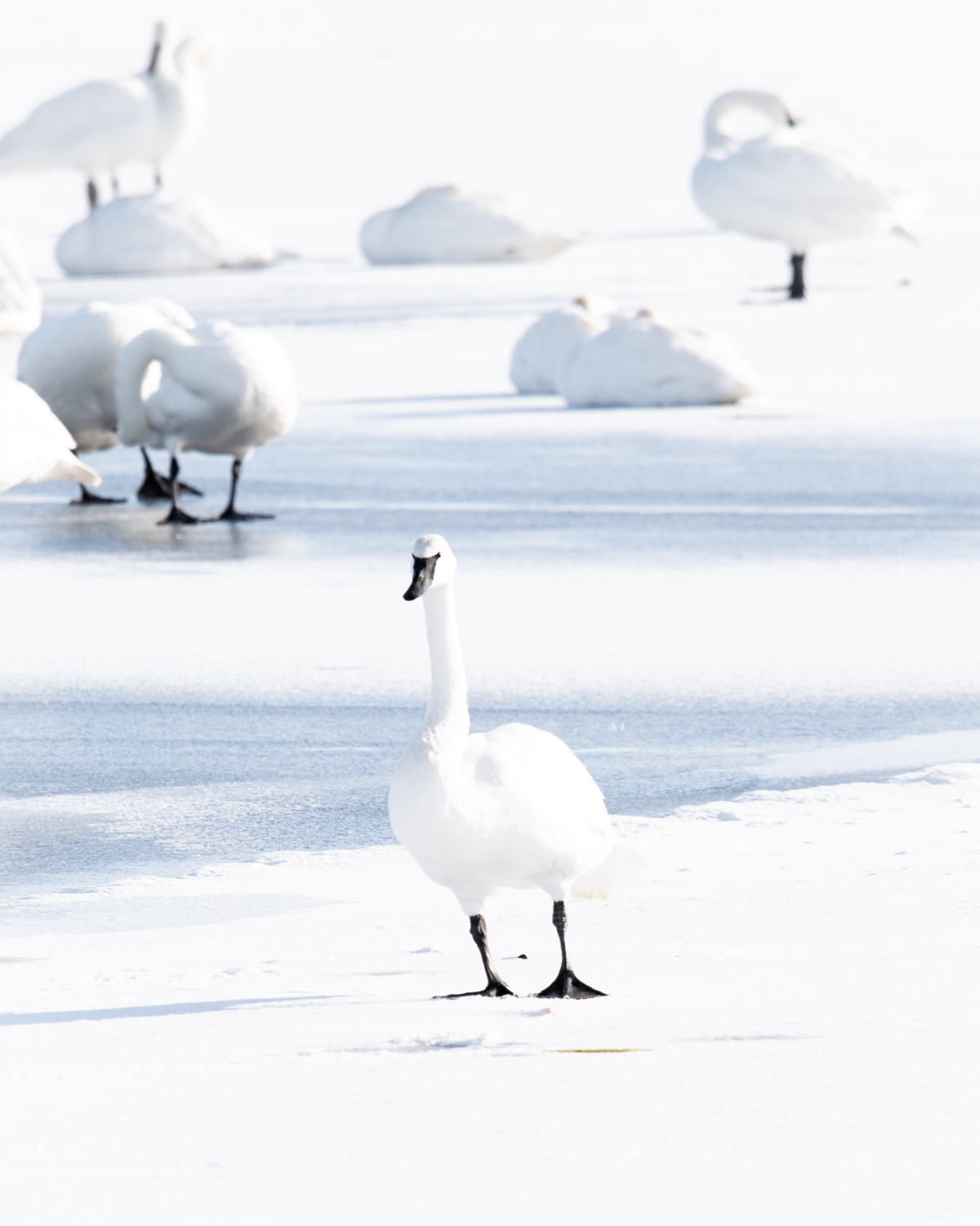 Image: A Trumpeter Swan stands on the ice after preening itself.