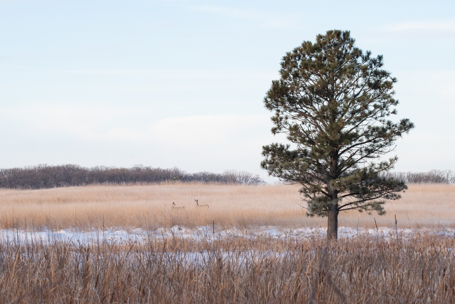 Image: Two White-tailed Deer observe their surroundings before moving through a tallgrass prairie.