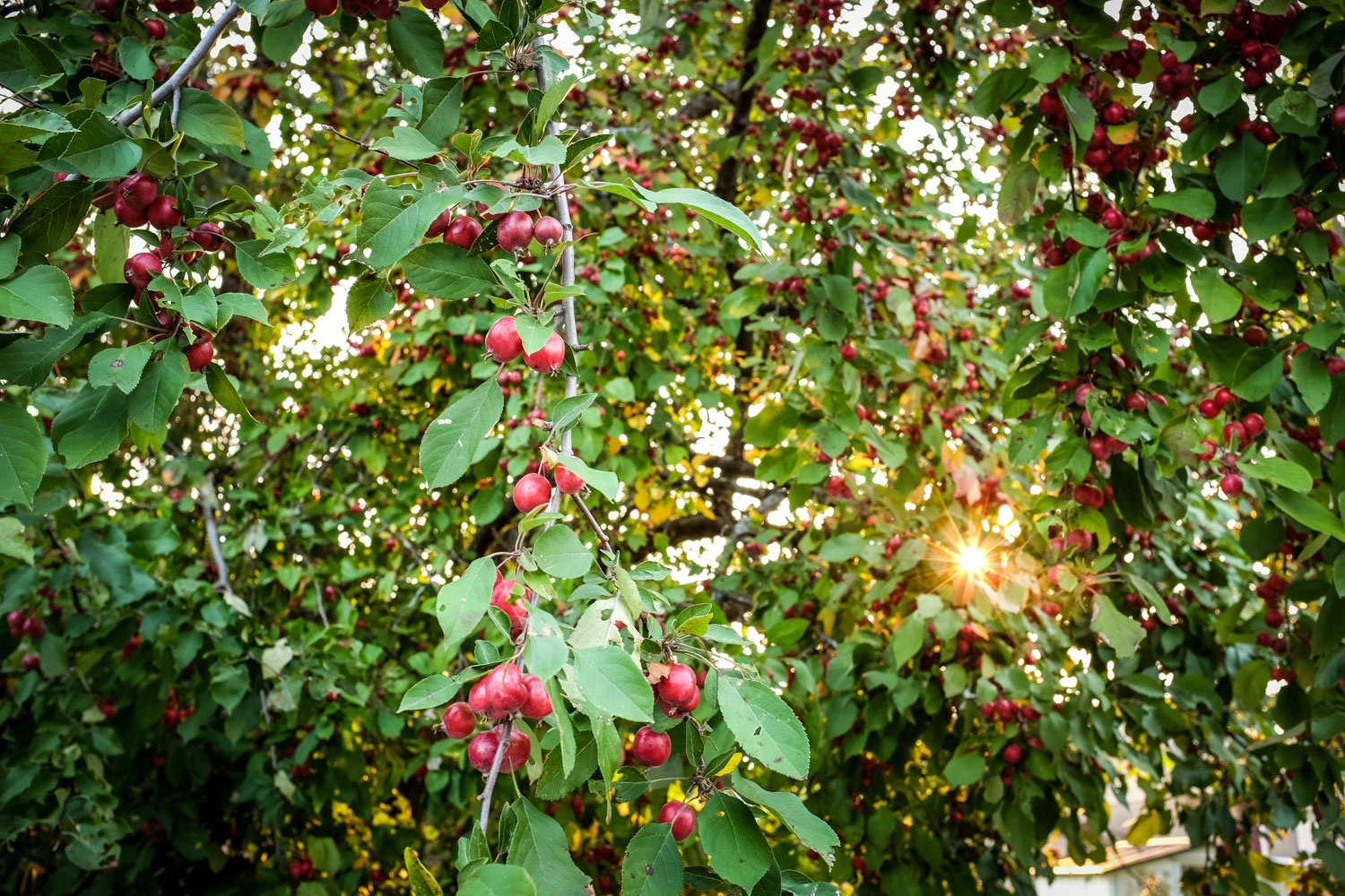 Image: The setting sun behind this crab apple tree caught my eye during a walk. I came back with my...