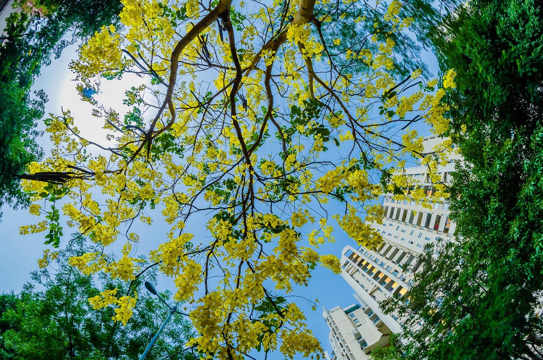 Image: Laburnum blooms Gurgaon © Prasad Np