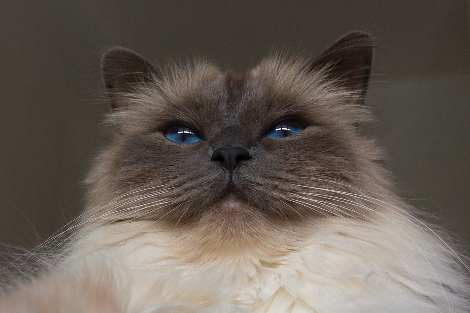 Low angle photography - Birman cat