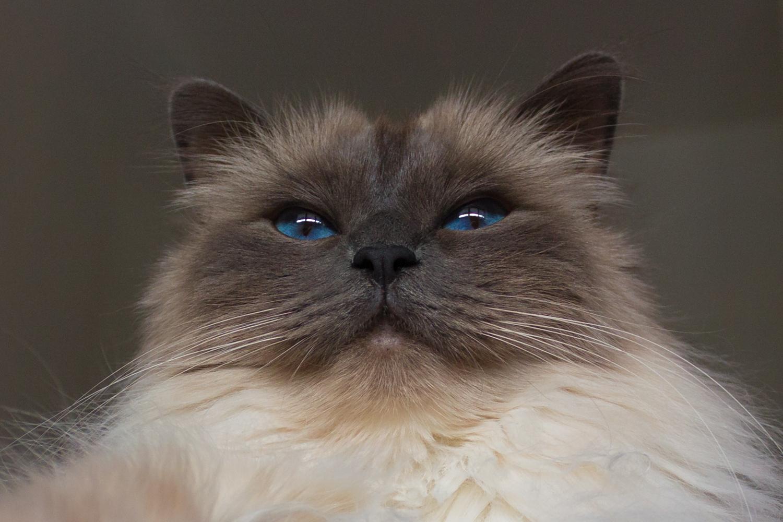 Low angle photography - Birman cat