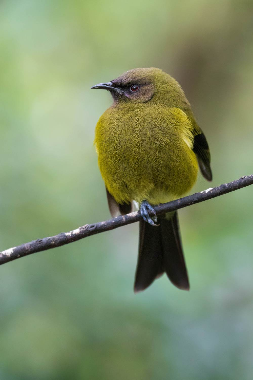 Image: New Zealand Bellbird © Samuel Bloch