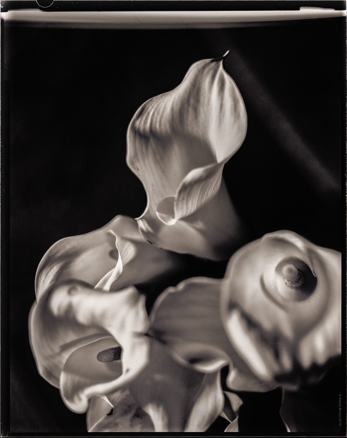 imogen-cunningham-calla-lillies-digital-photography-school-adam-welch-1