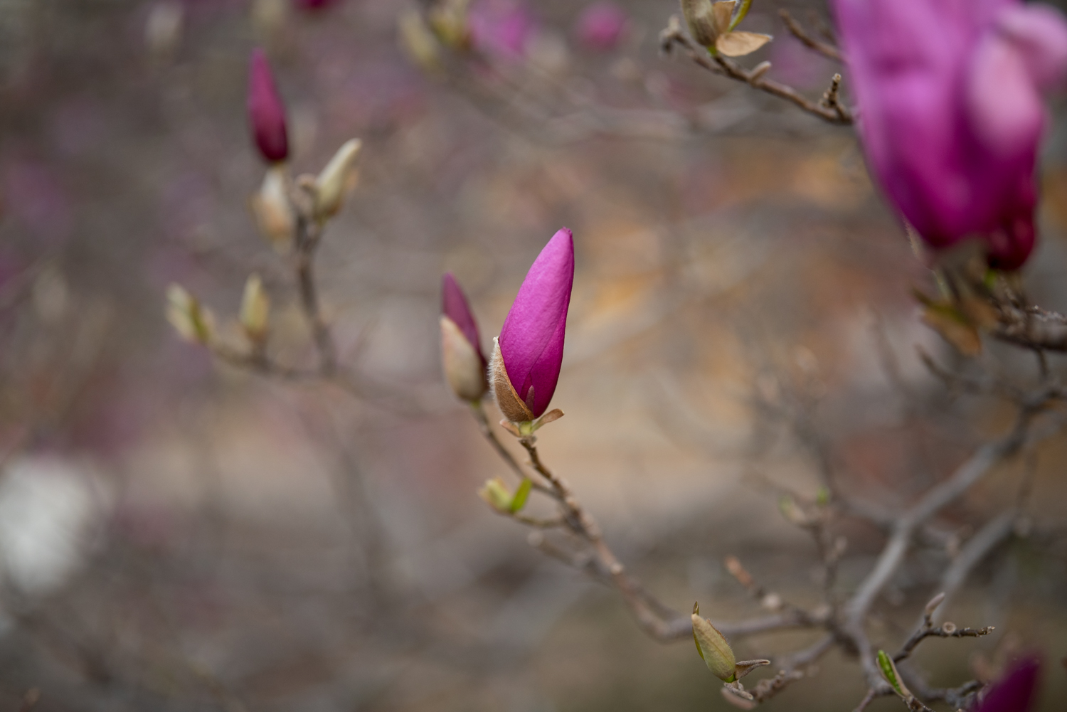 https://i0.wp.com/digital-photography-school.com/wp-content/uploads/2019/03/sigma-40mm-lens-review-magnolia-closed.jpg?resize=1500%2C1001&ssl=1