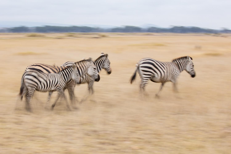 Image: Zebras, Tanzania