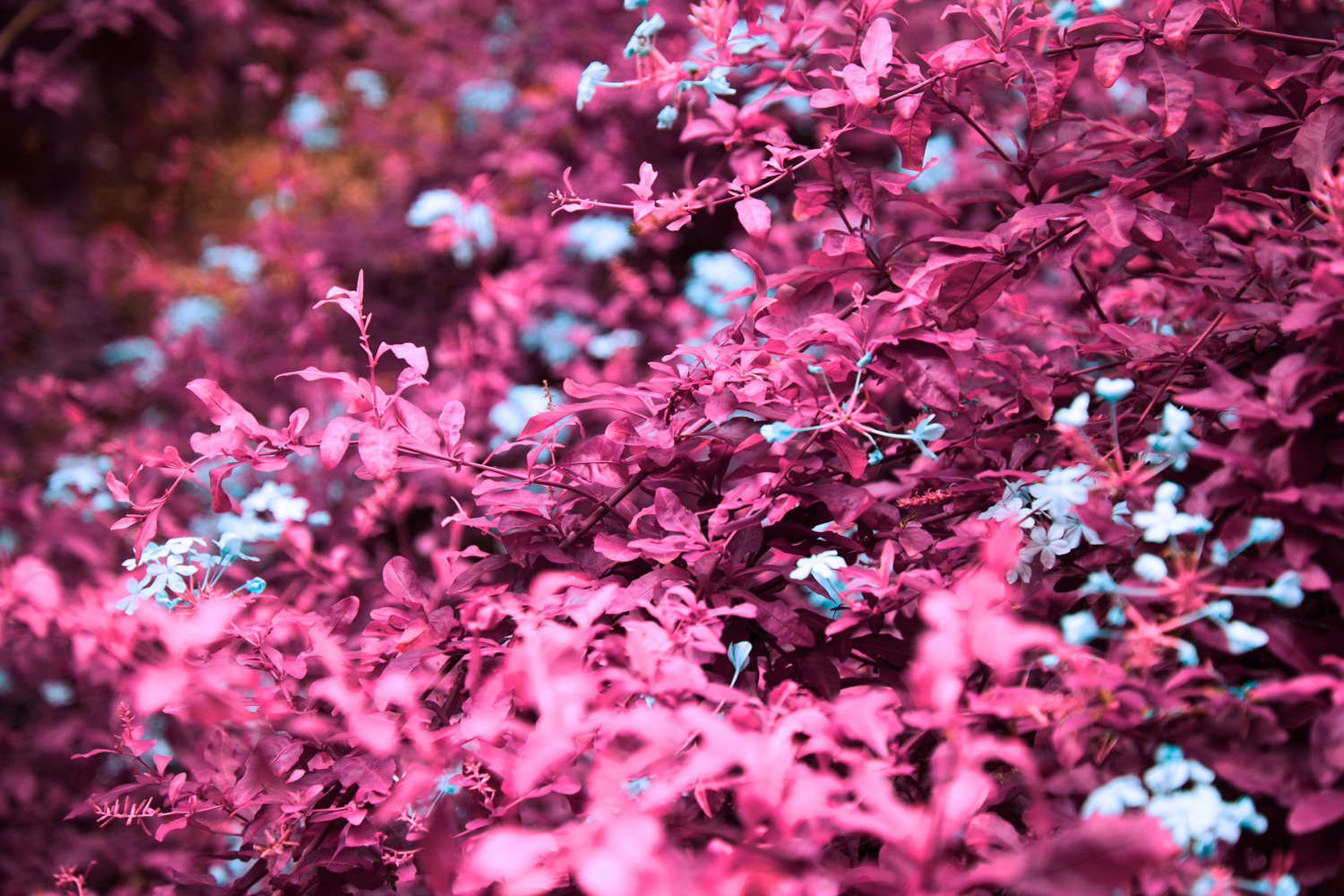 Image: Infrared technology and effects render green organic matter in pinks and purples