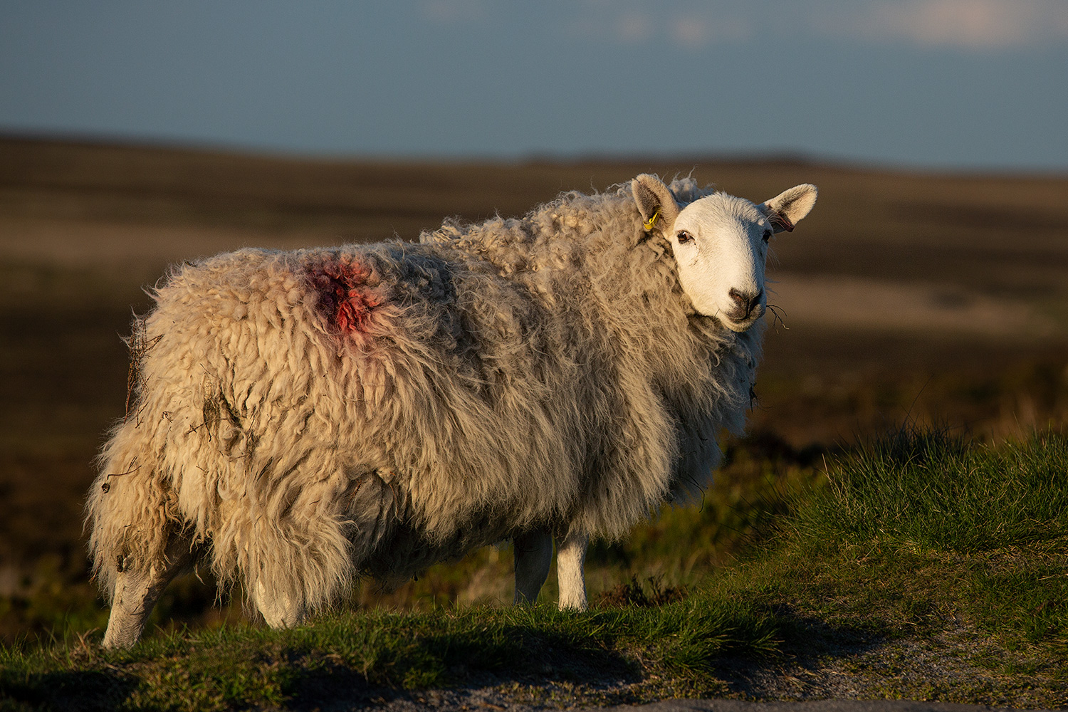 Image: High contrast subjects, like this sheep's white face lit directly by the setting sun, w...