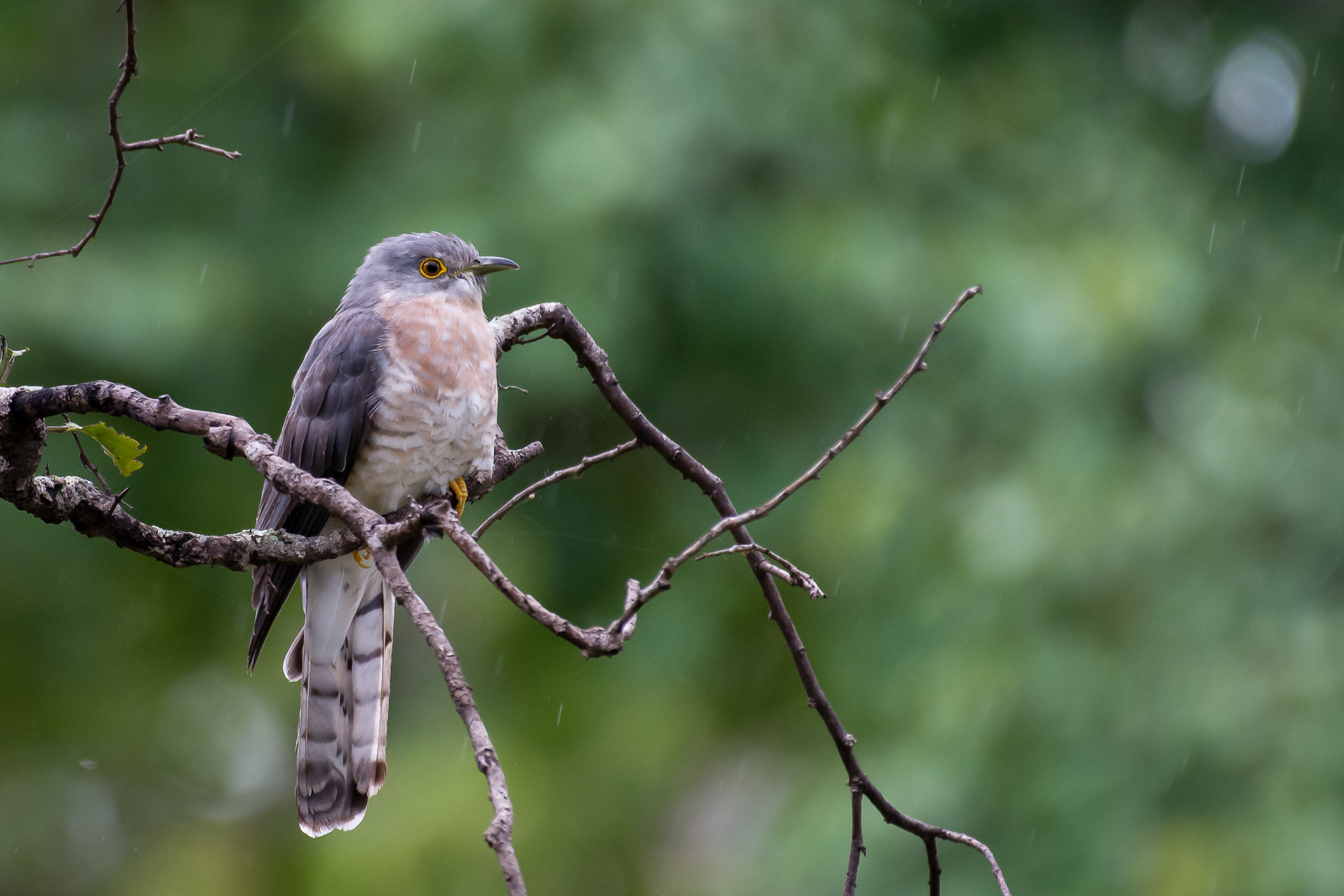 Image: Hawk cuckoo bird in the rain. Low light image and photographed from a safari vehicle.