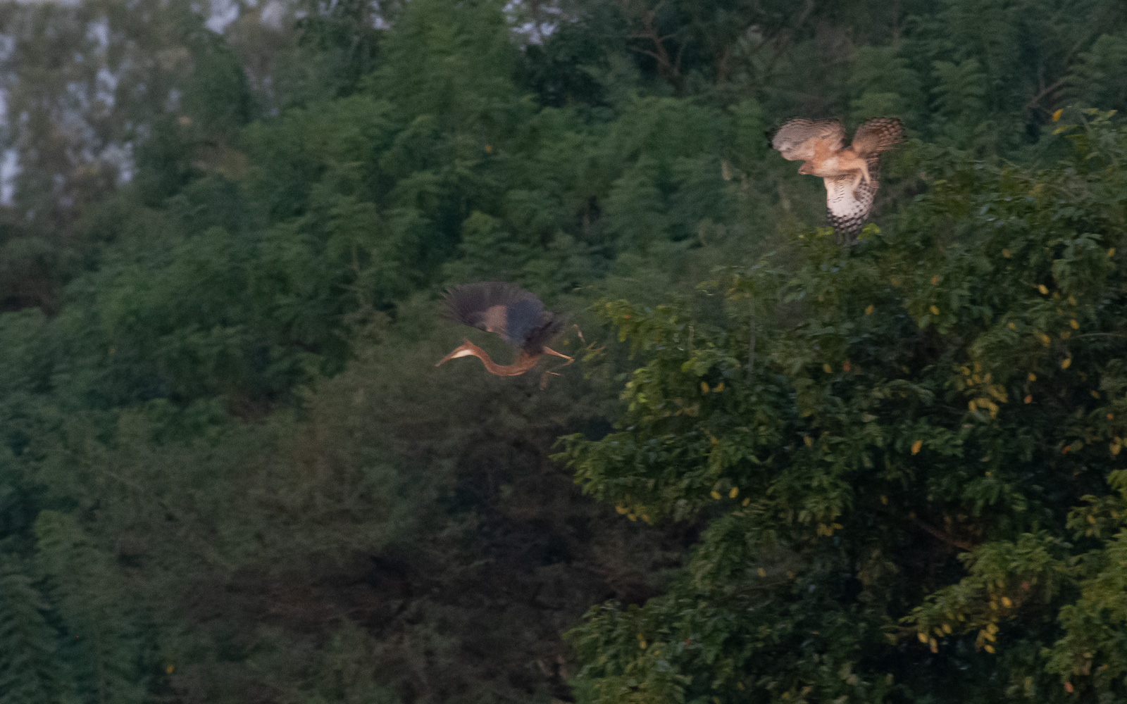 Image: Crested Hawk Eagle chasing Heron. The birds were at a longer distance and photographed during...