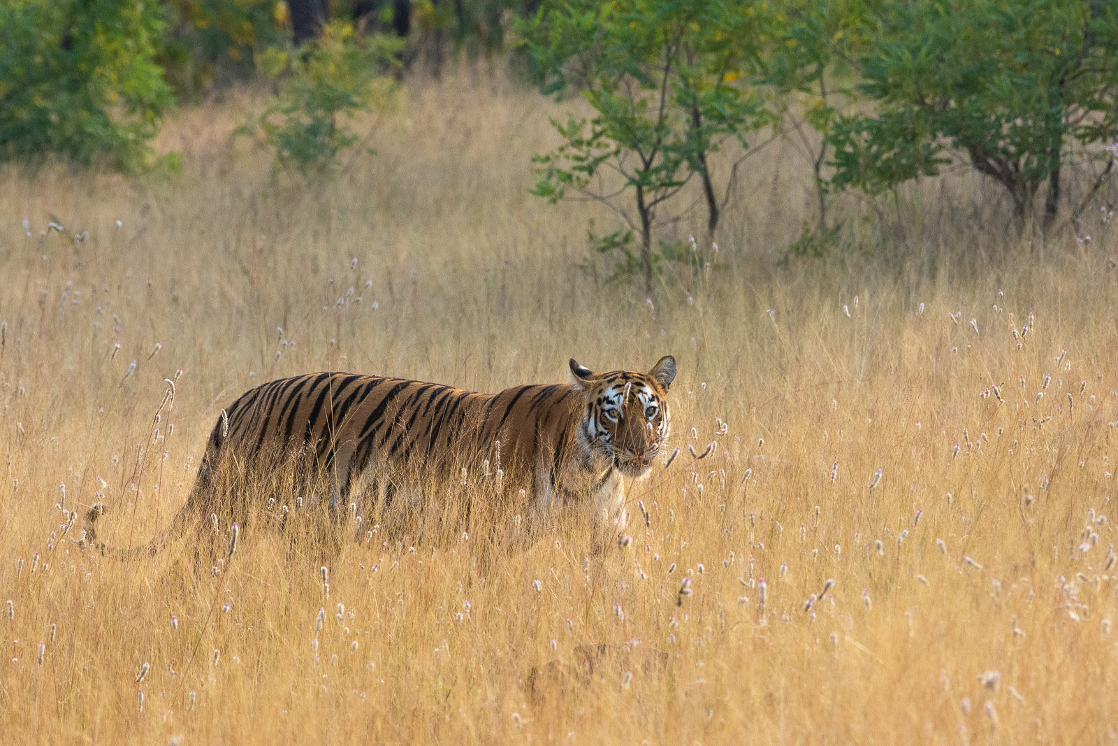 Image: Tigress in the dusty grassland. Lens managed to focus in a dusty environment. This image is c...