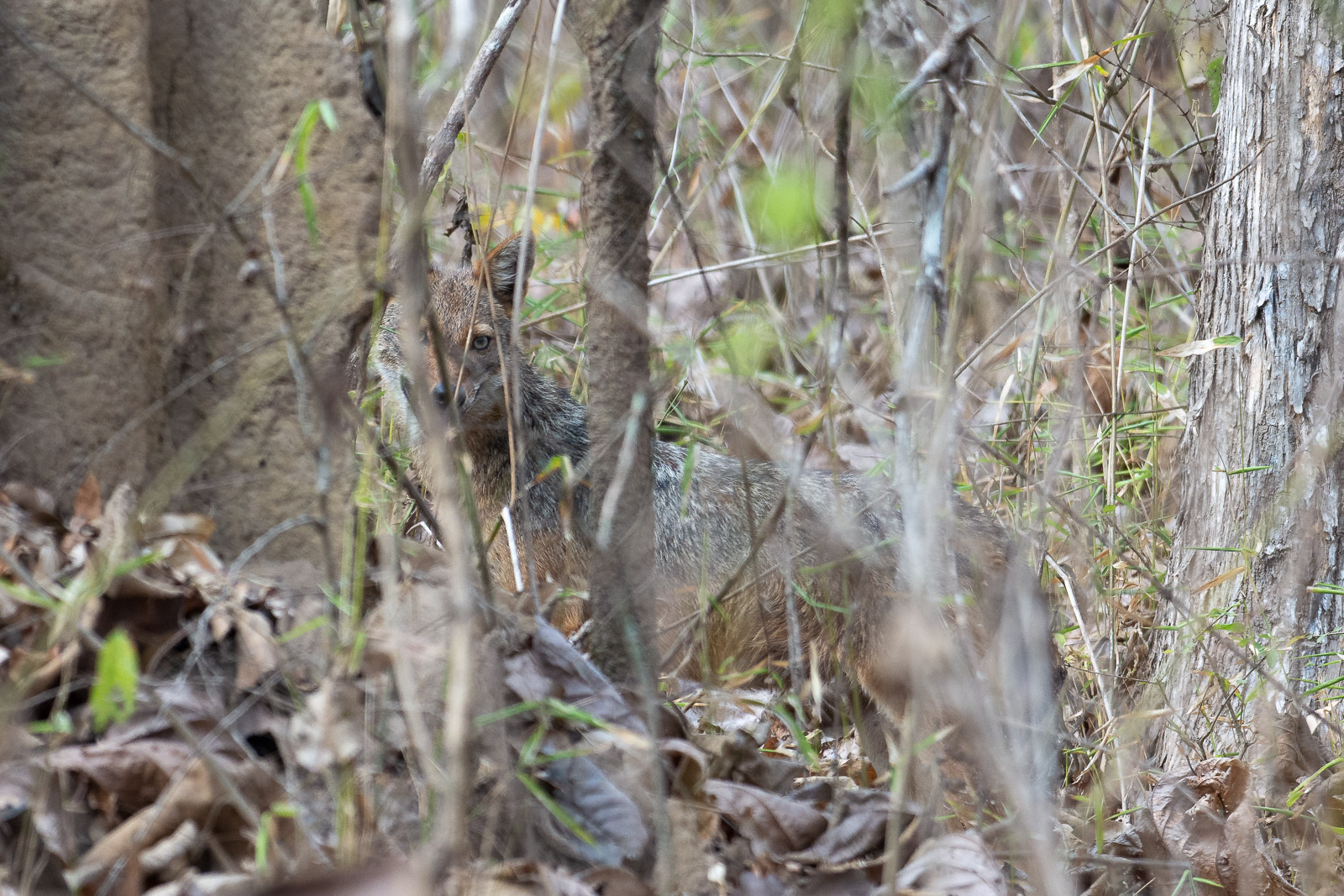 Image: Image of a jackal. Initially, I tried using autofocus. Since there was much clutter in front...