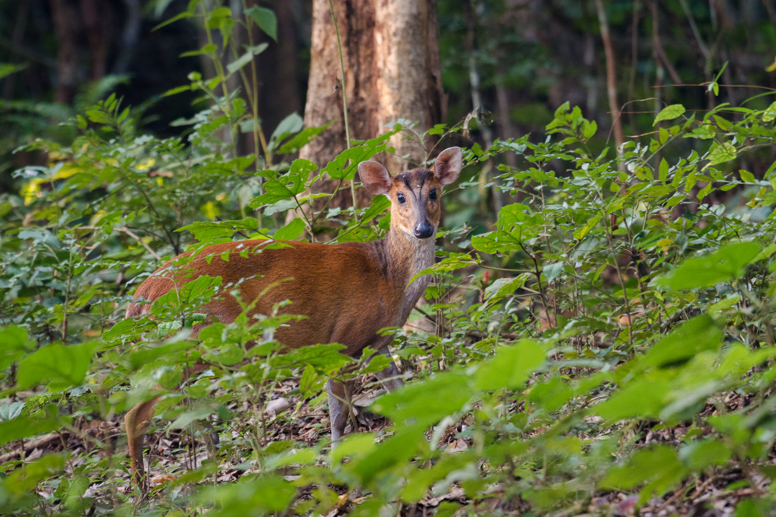 Image: Barking deer photographed at 1/30th shutter speed from the safari vehicle. Exif: at 360mm, f/...