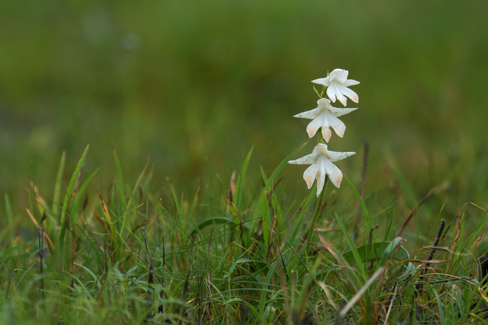 Image: The lens is capable of photographing small objects such as this Ground orchid (at focal lengt...