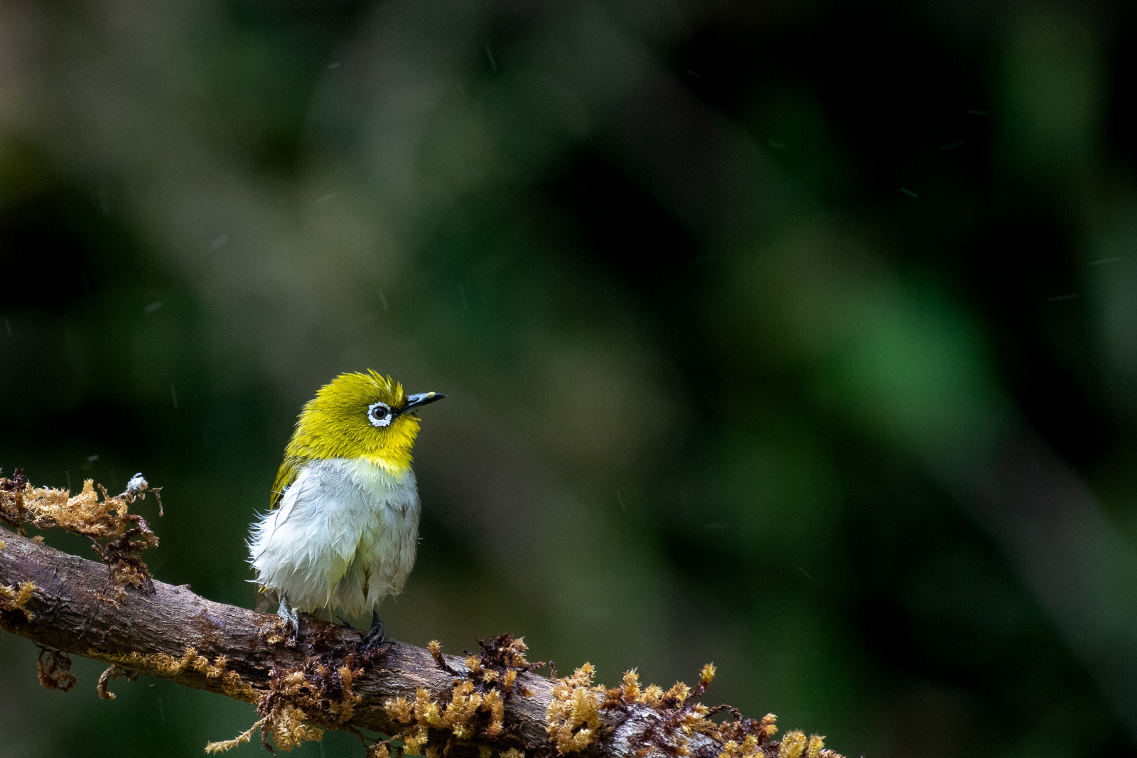 Image: Small sized Oriental white-eye bird photographed at a close distance of 8ft at a focal length...