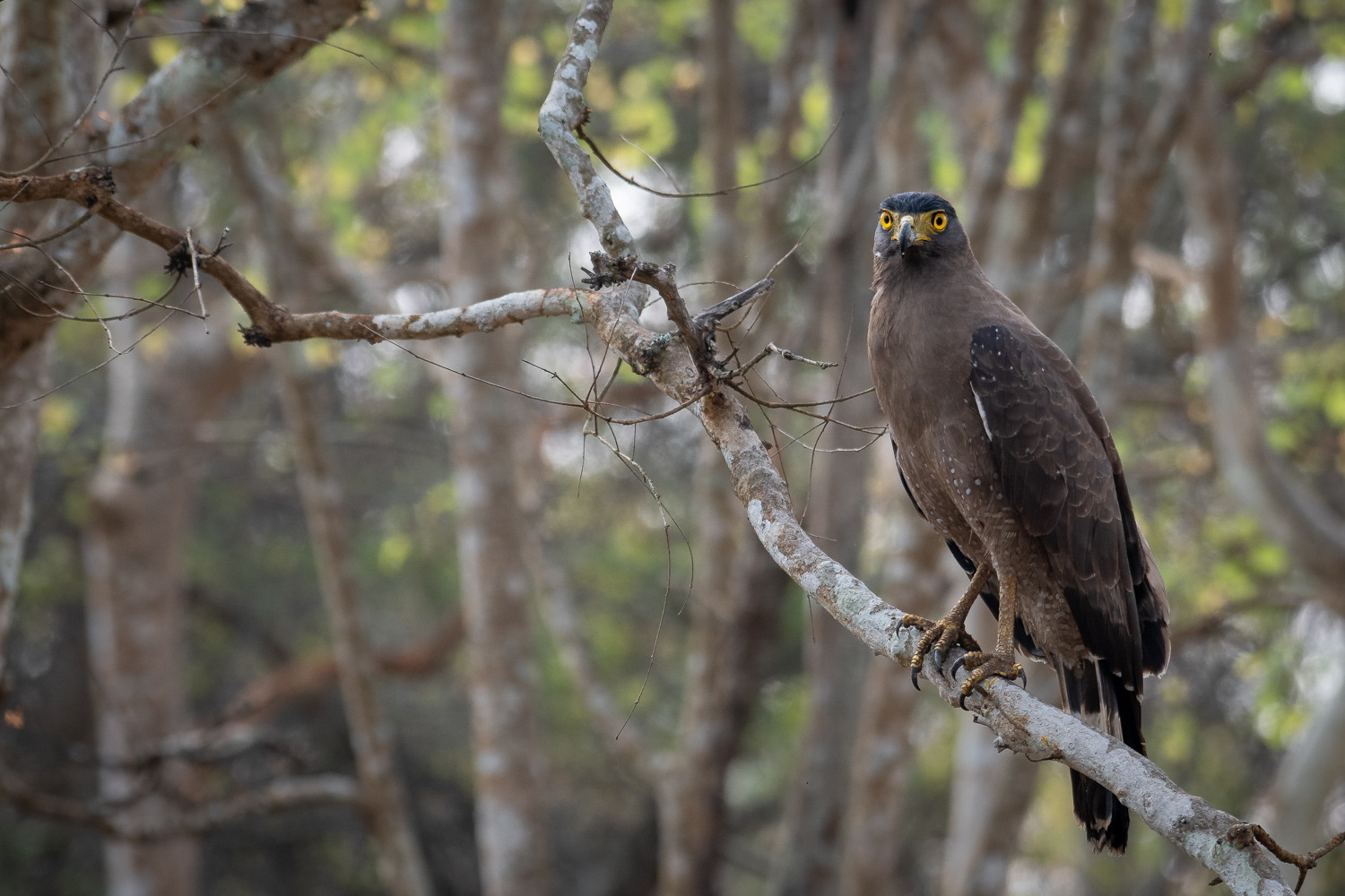 Image: Stare of an eagle. The Nikon D500 captures the details perfectly. Exif: 1/400s, f/5.6 an ISO...