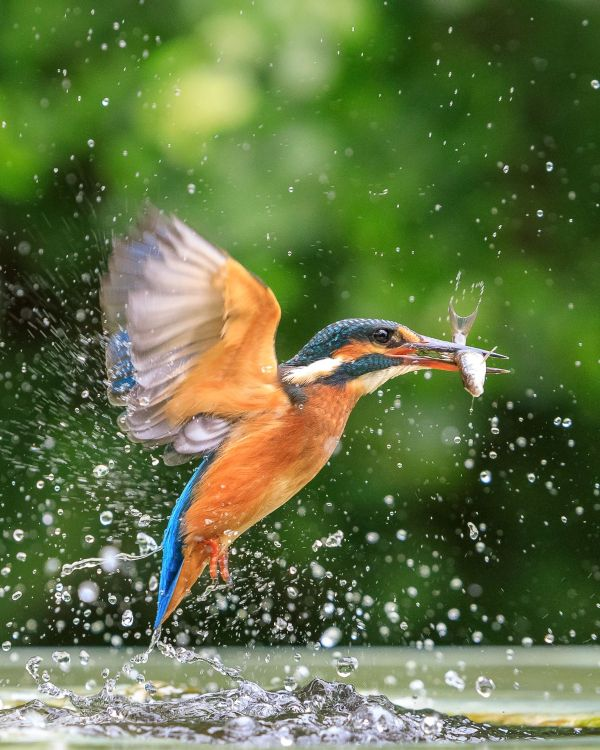 Stunning Capture Of Kingfisher Catching A Fish Behind The Shot