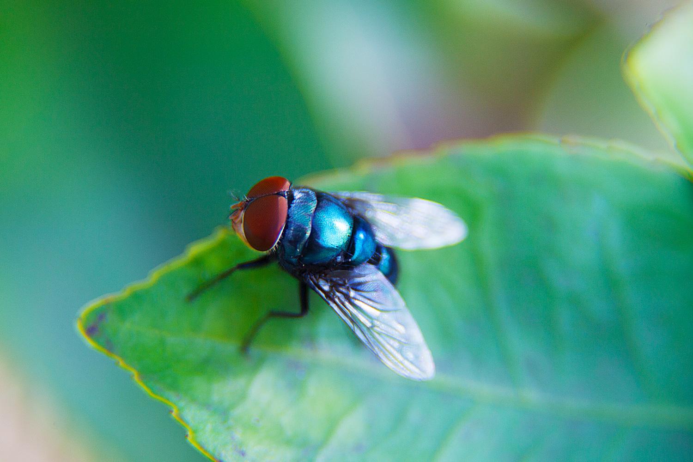 bottle fly macro photo