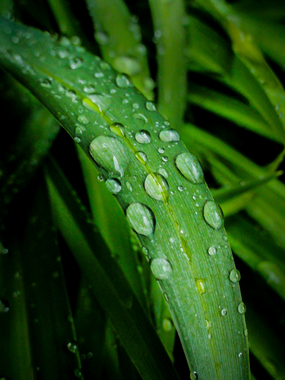 Image: Many leaves will naturally bead water like the raindrops on this daylily. Raindrop photograph...
