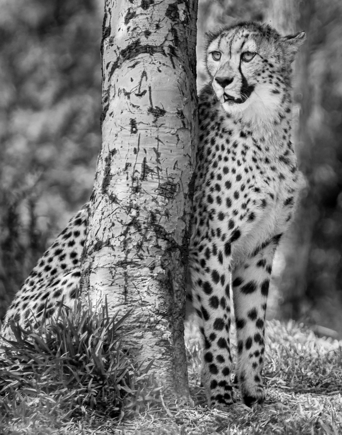 Image: Monochrome can give a classy look and in the case of this cheetah, emphasize his spotted camo...