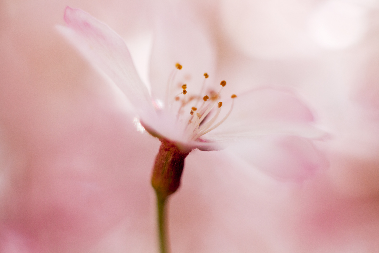 shape-and-form-in-photography-pink-blossom