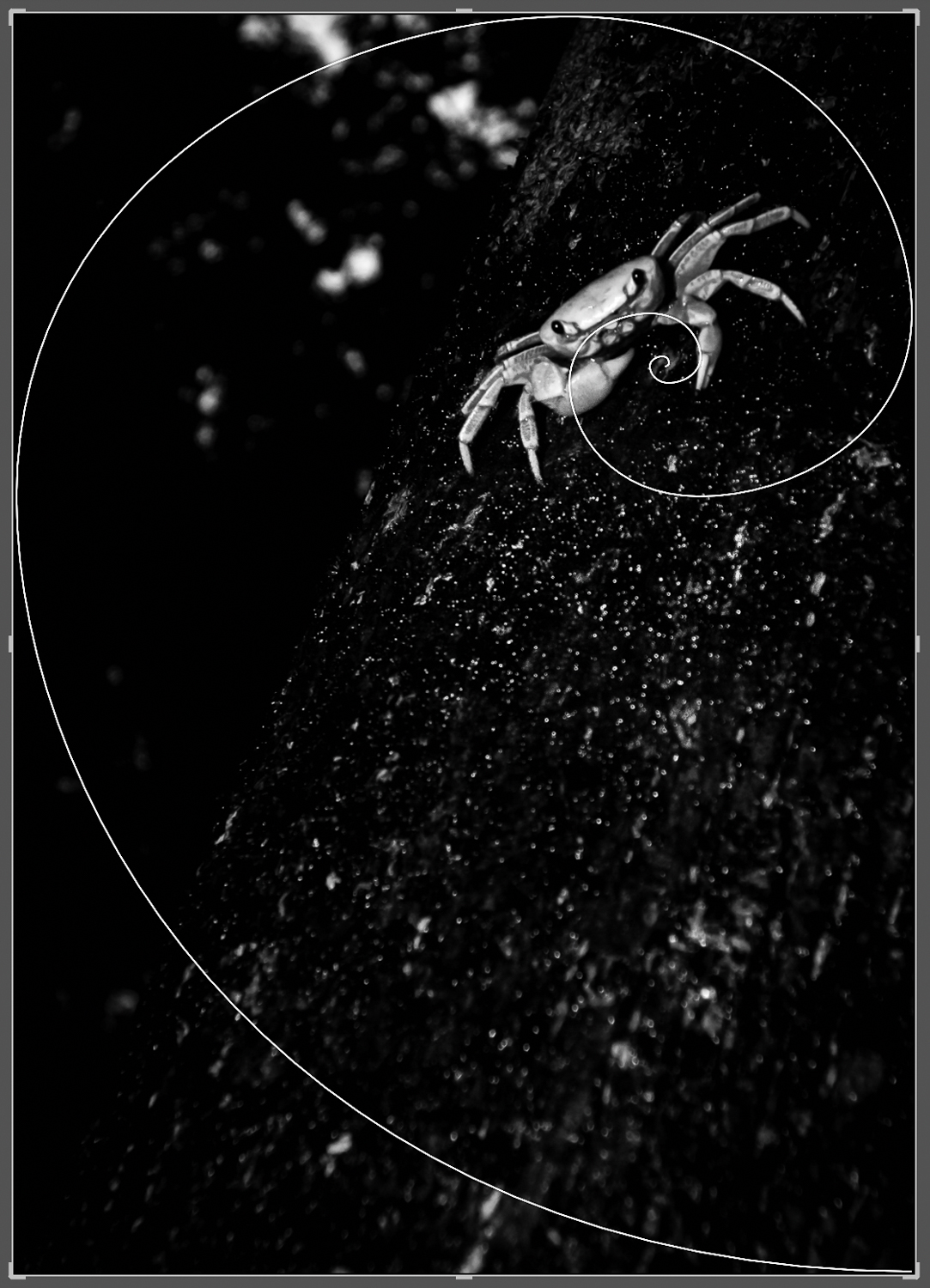 Image: Golden Spiral – Crab on the tree