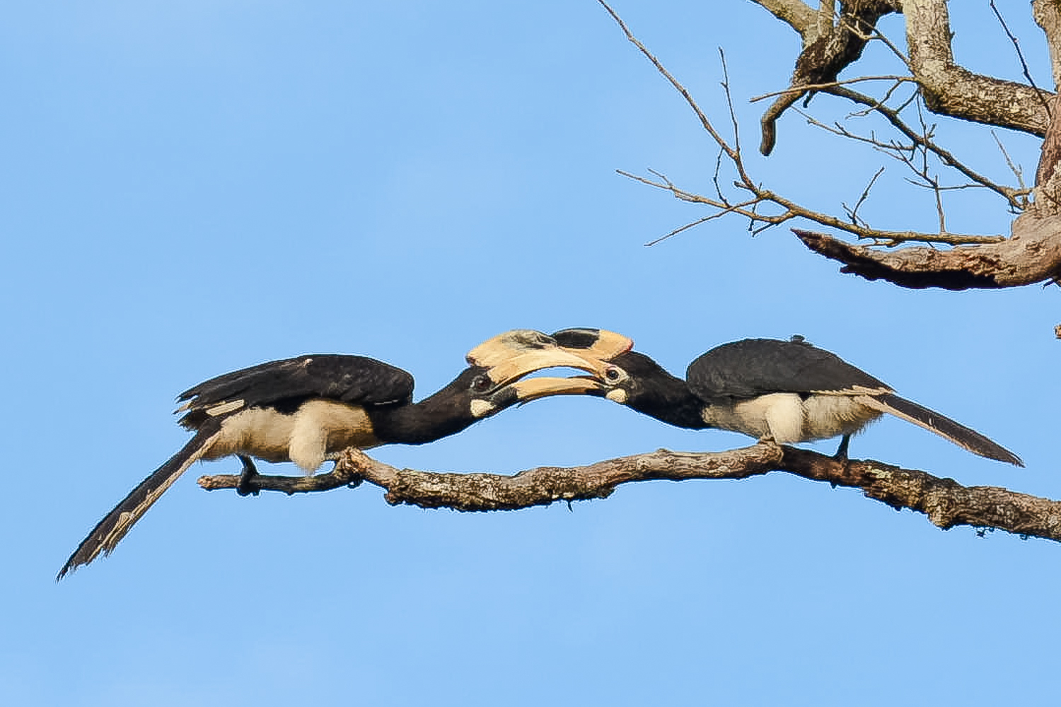 Image: Symmetry of the Hornbills.