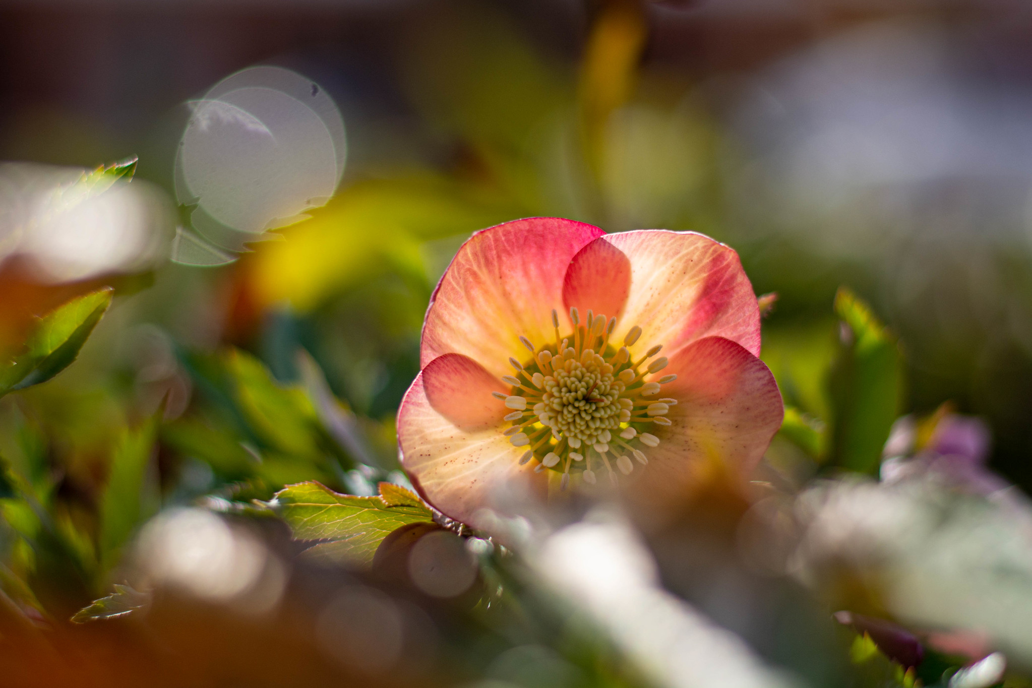 why dedicated cameras are better than smartphones-flower-bokeh