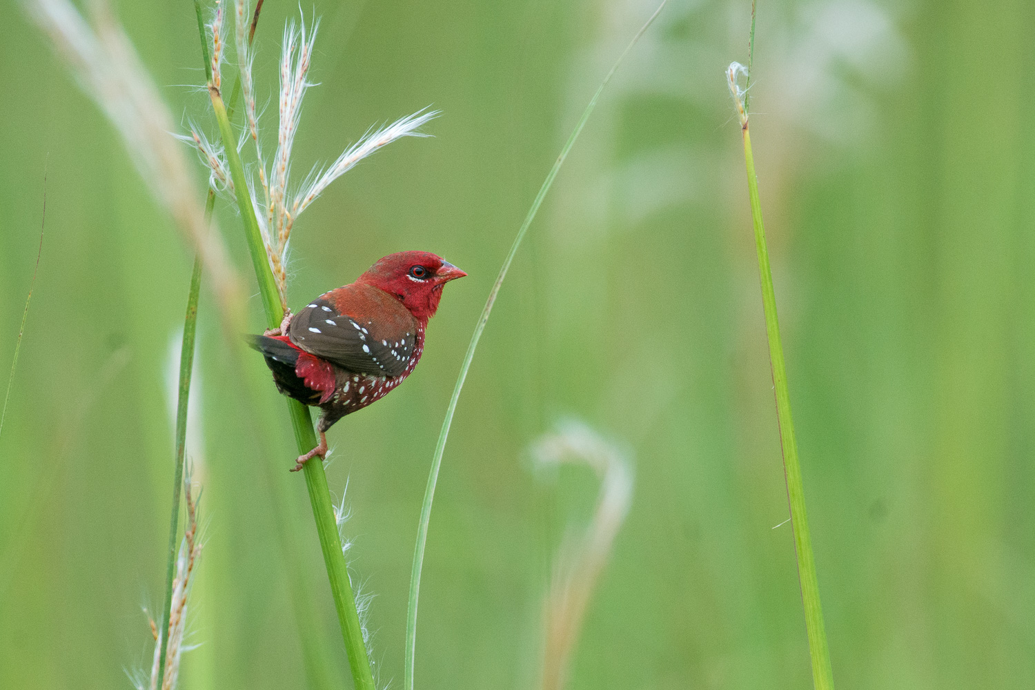 How to Choose the Best Lens for Wildlife Photography - Red munia sitting on grass