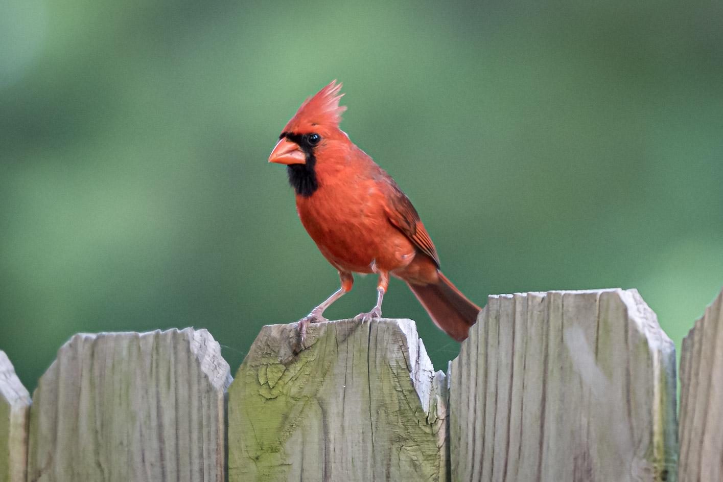 backyard photo safari cardinal