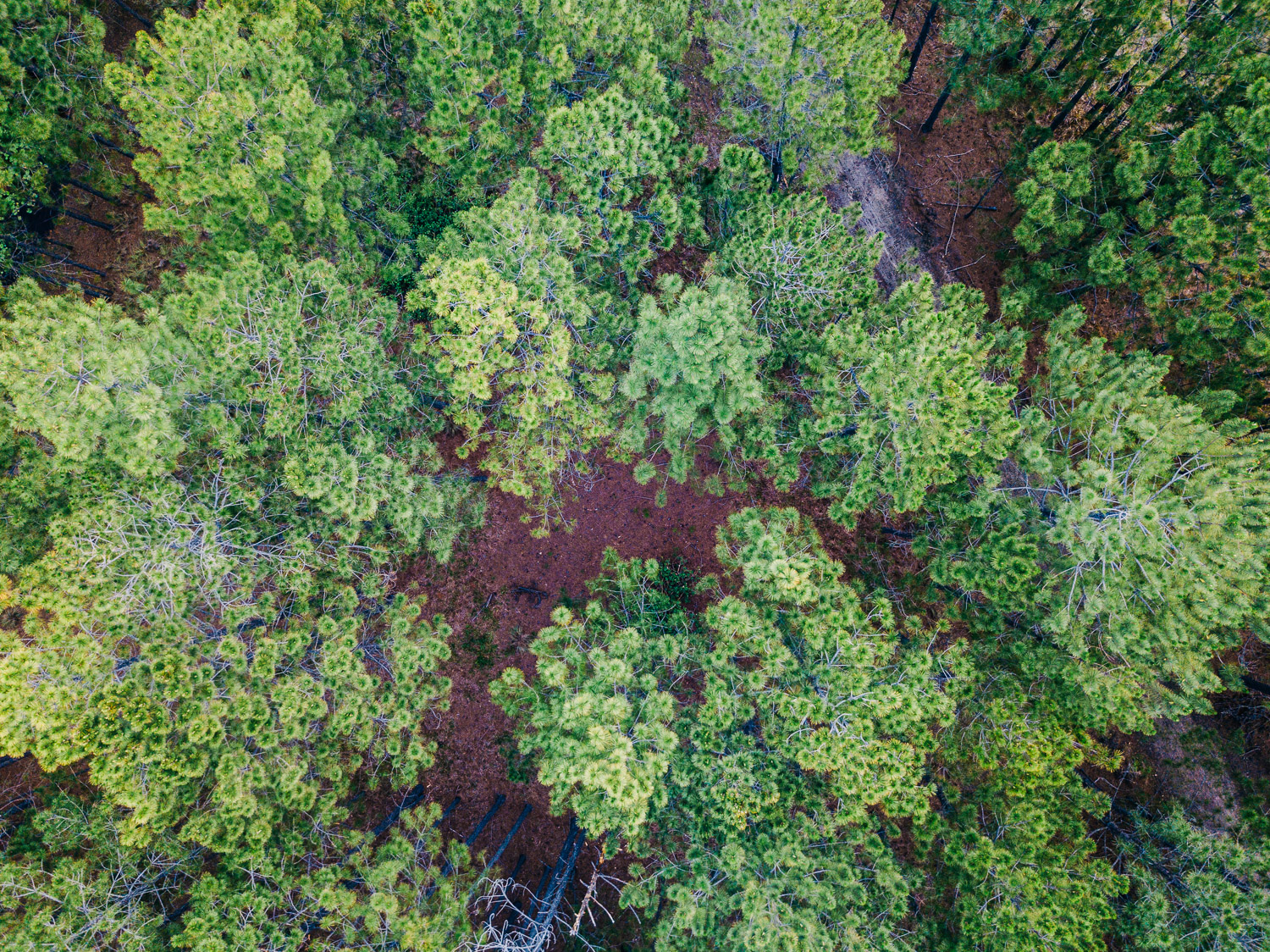 Textures of a Queensland pine forest.   Brisbane drone photography by Matt Murray