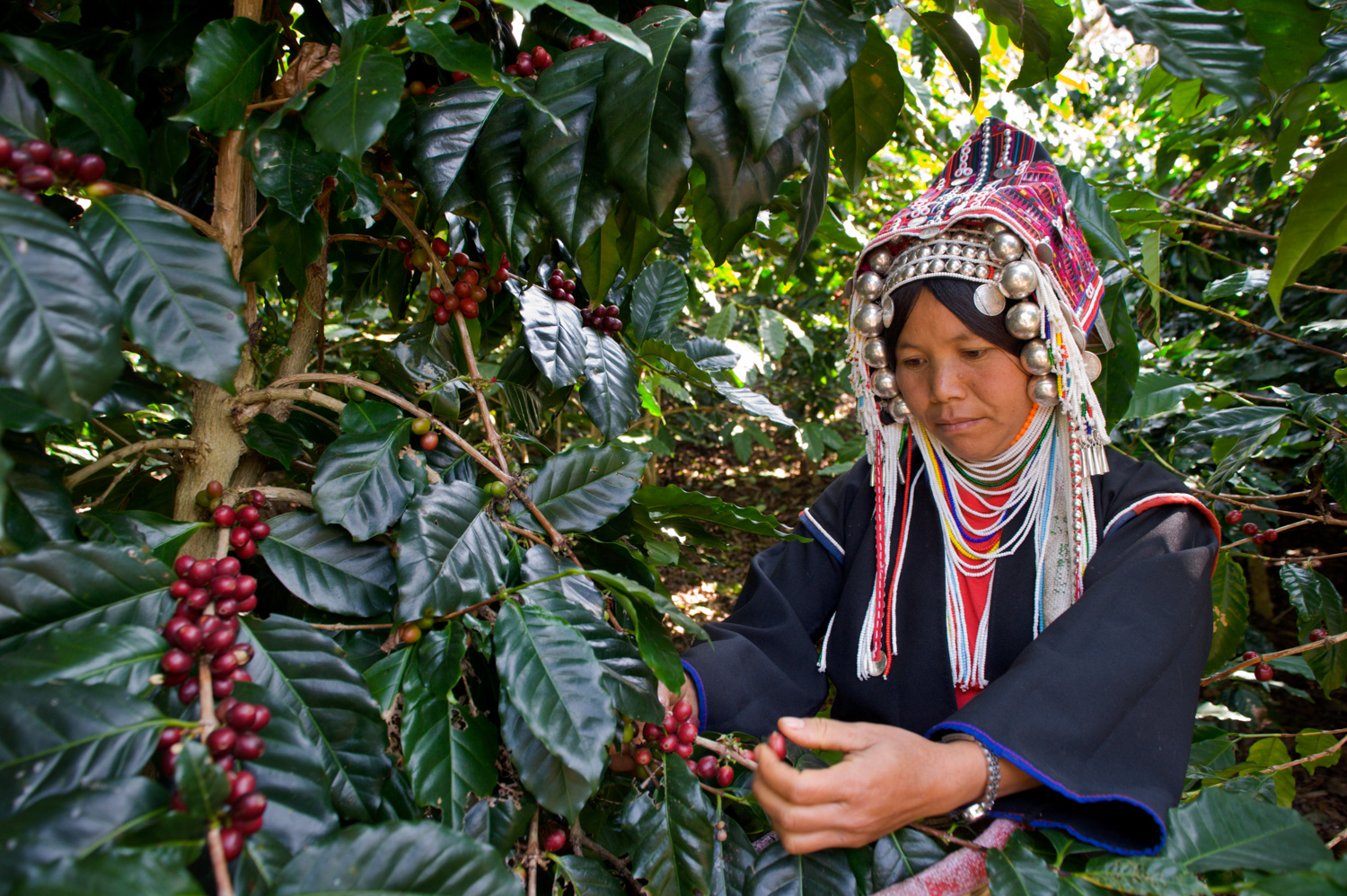 Akha woman picking coffee for curiosity and knowledge in photography