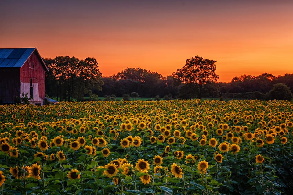 Marie Costanza Sunflowers